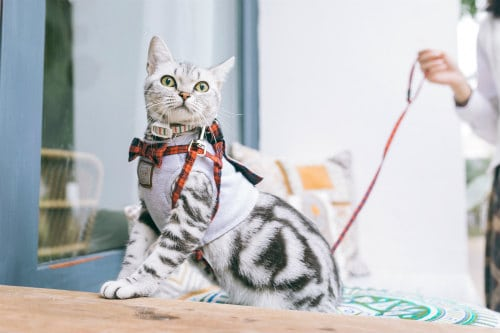 White and black cat with harness